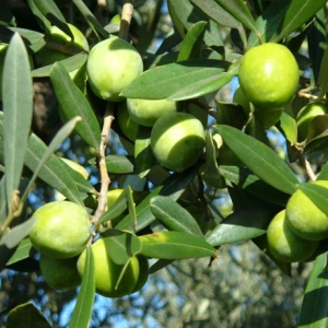 Olive Nocellara del Belice in salamoia (secchiello)  500 gr